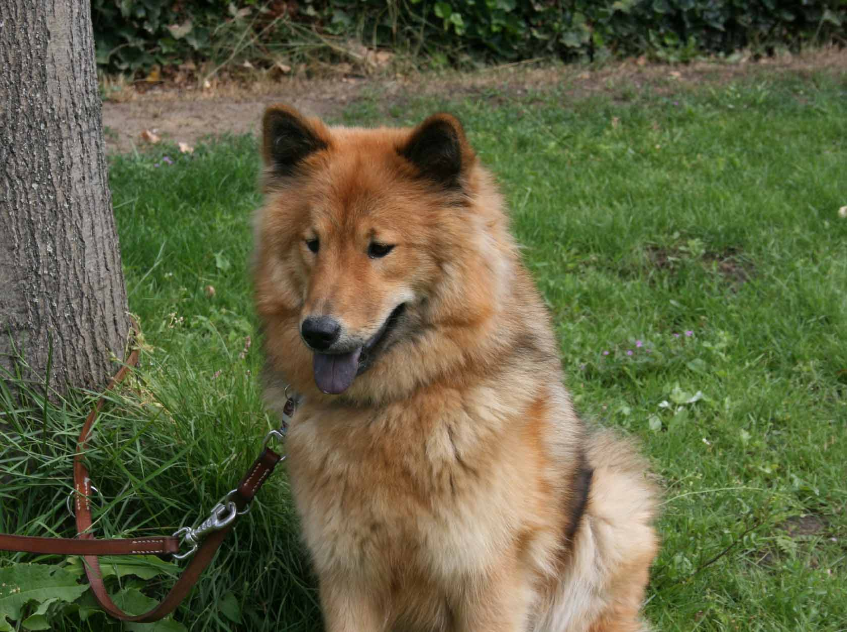 Eurasier dog on the grass wallpaper