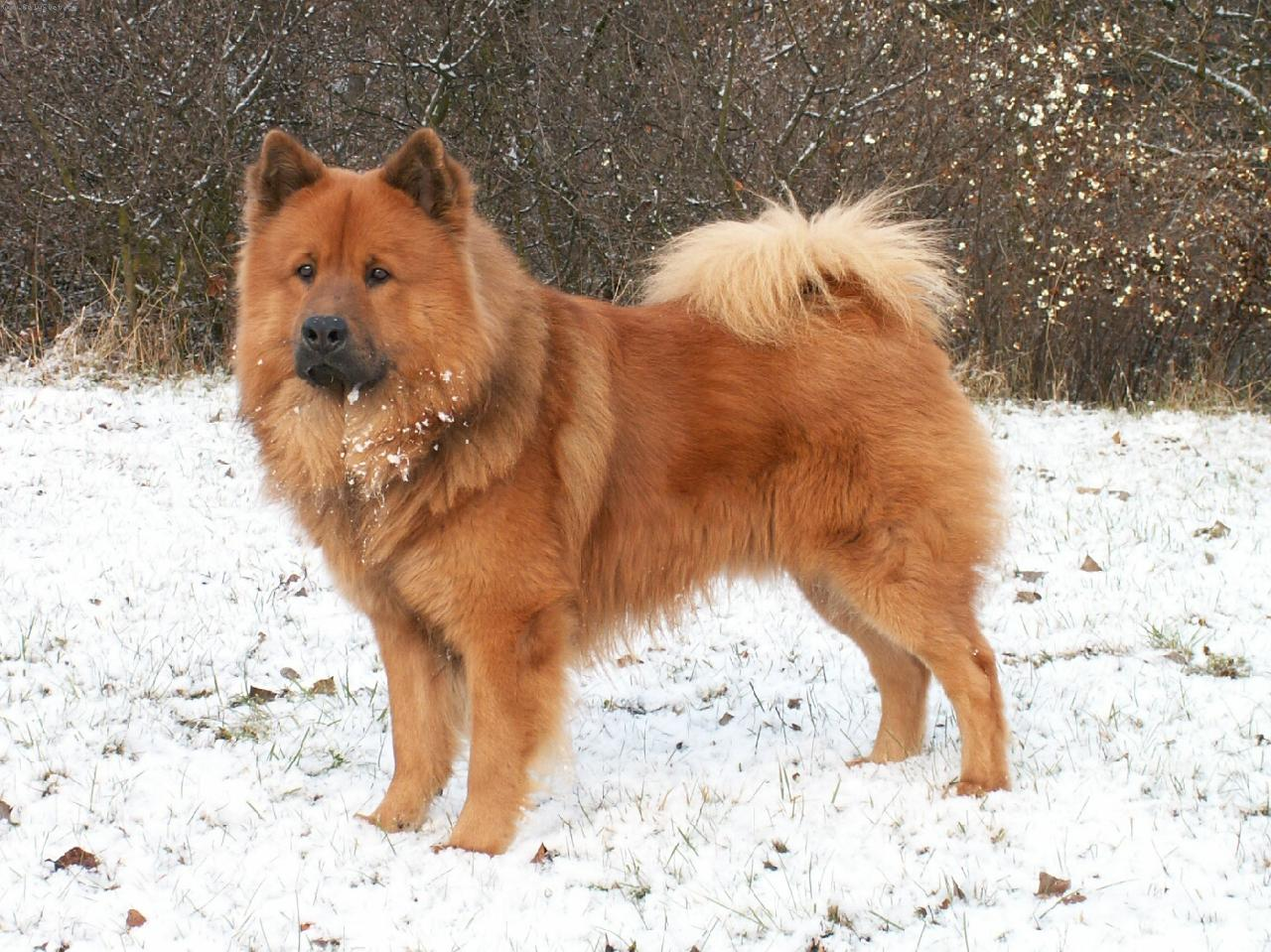 Eurasier dog on the snow wallpaper