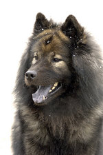 Eurasier dog portrait