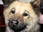 Eurasier puppy face