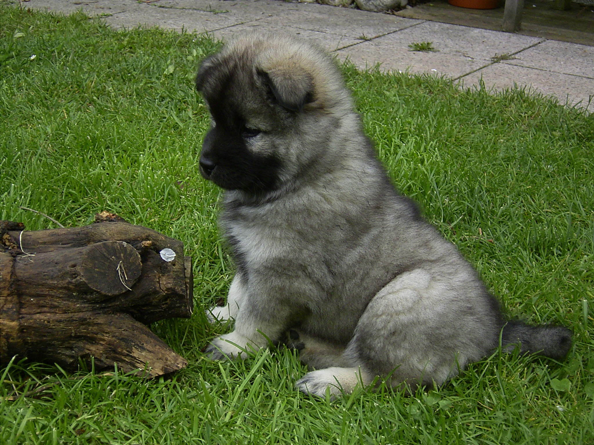 Щенок собаки евразиер на траве фото