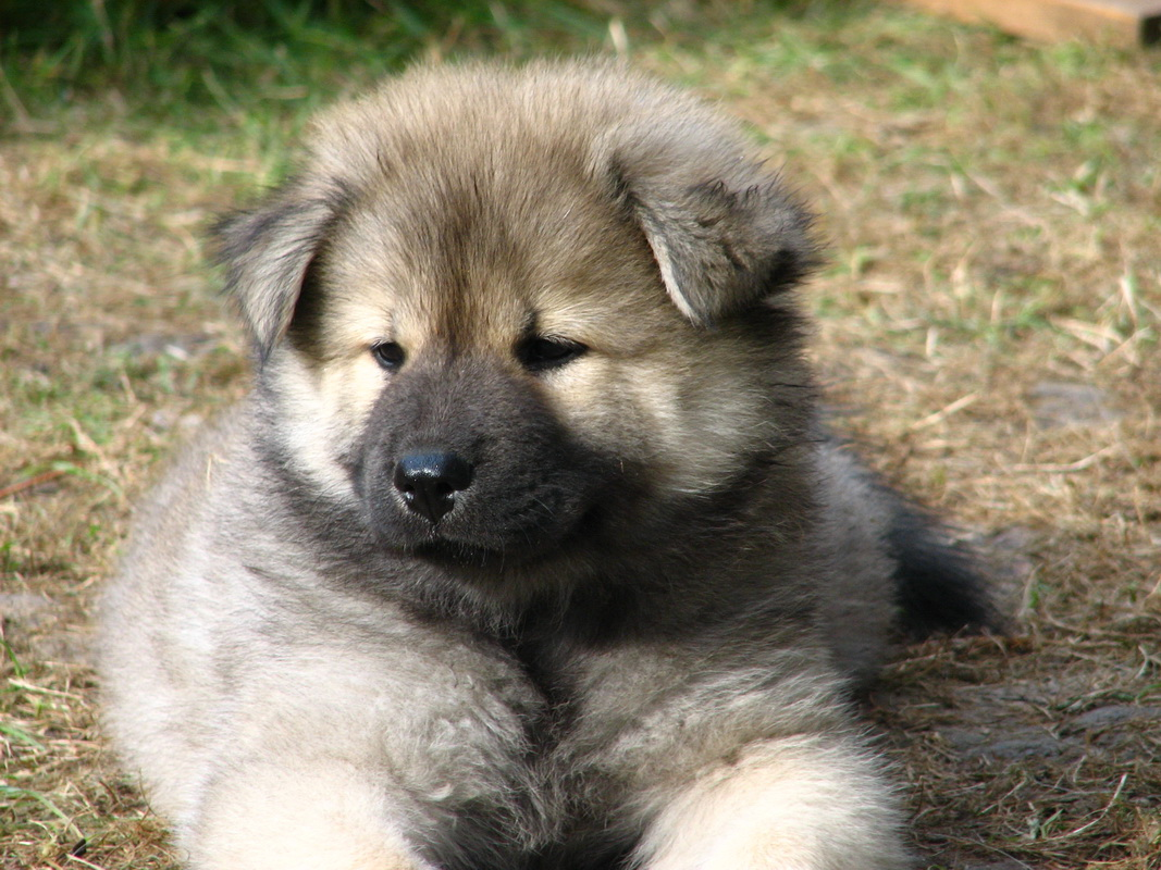 Eurasier puppy wallpaper