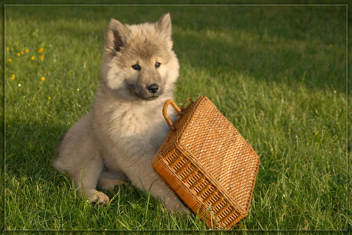 Eurasier puppy with a basket wallpaper