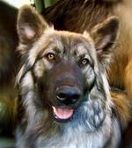 Face of American Alsatian