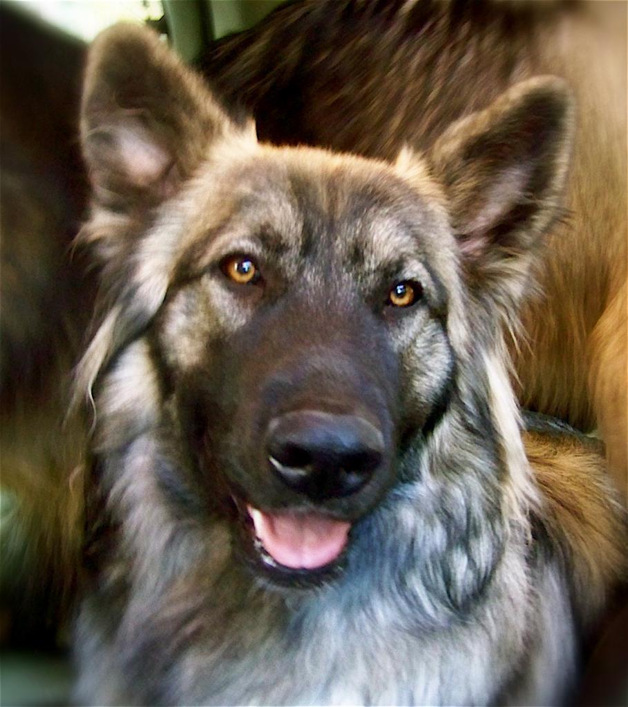 Морда американской эльзасской собаки фото