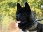Face of black American Akita