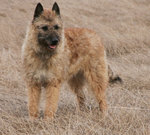Fawn Belgian Shepherd Dog (Laekenois) dog
