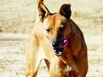 Fawn Carolina Dog