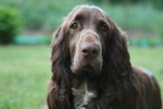 Field Spaniel dog face