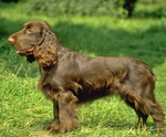 Field Spaniel dog side view