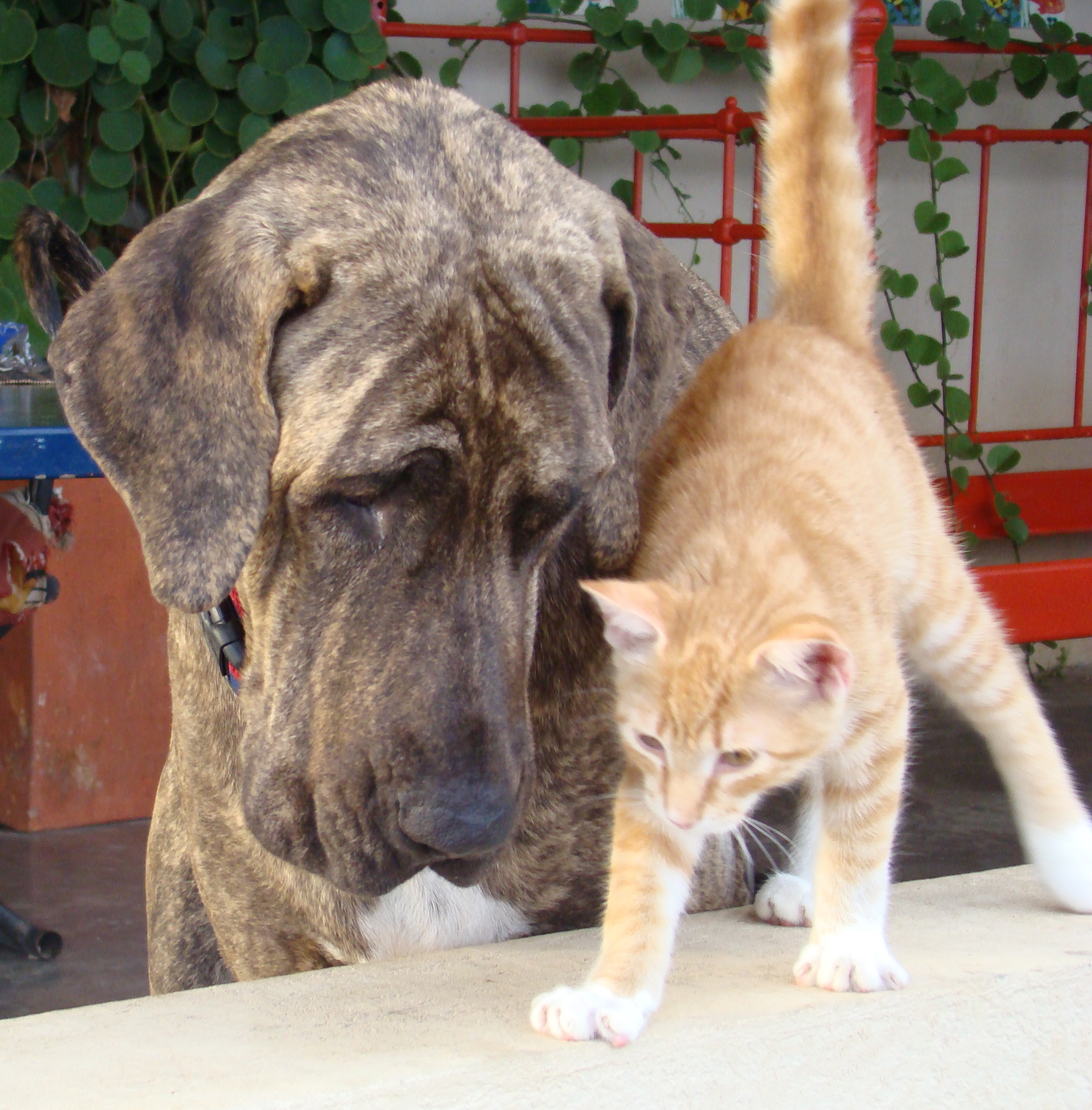 Fila Brasileiro dog and a cat wallpaper