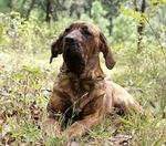 Fila Brasileiro dog in the grass