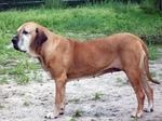 Fila Brasileiro dog side view