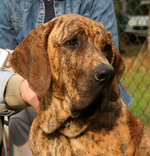 Fila Brasileiro dog with the owner