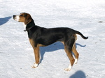 Finnish Hound dog in the snow