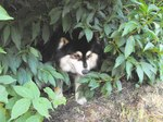 Finnish Lapphund dog in the bushes