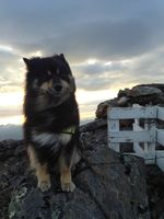 Finnish Lapphund dog on the mountain