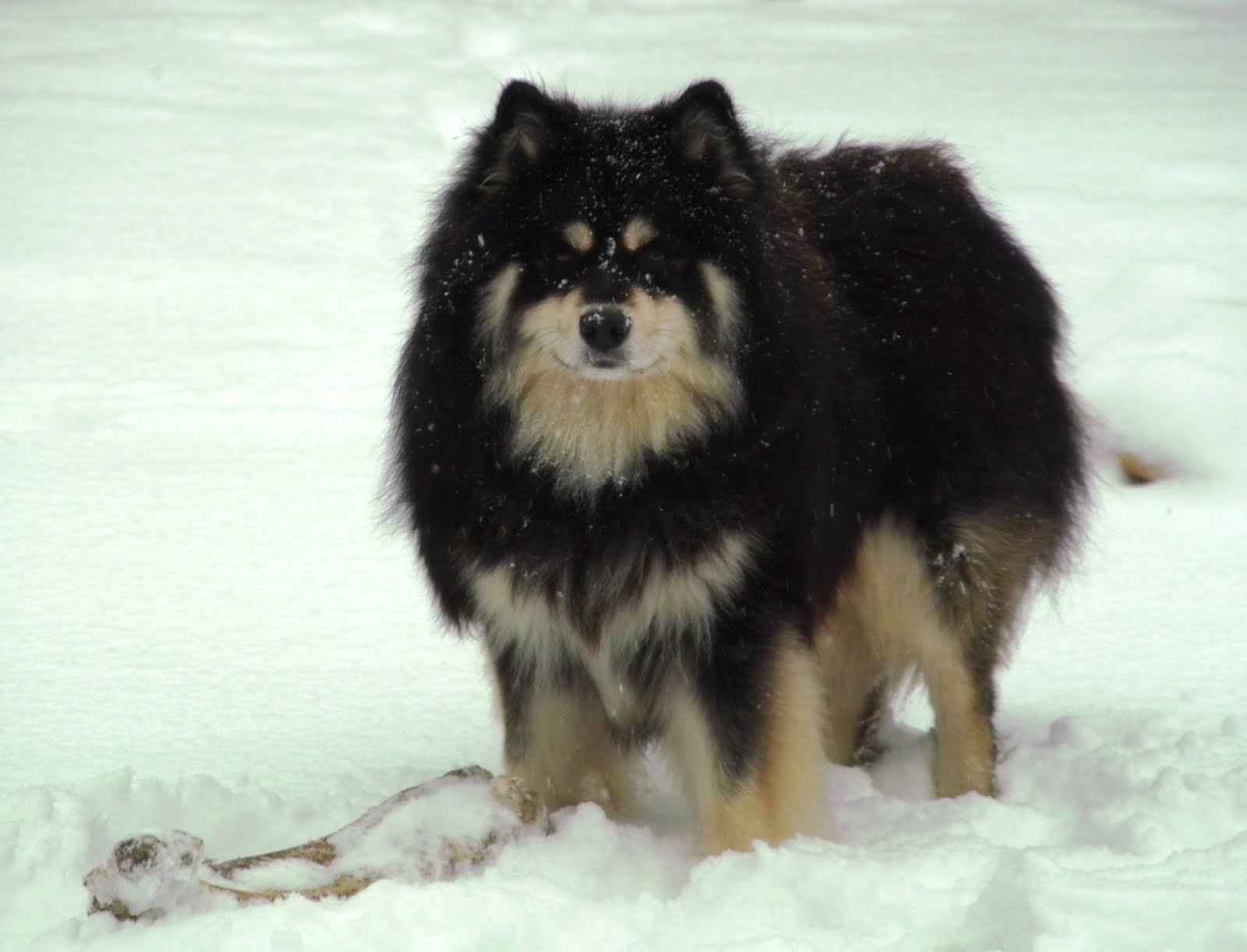 Finnish Lapphund dog on the snow  wallpaper