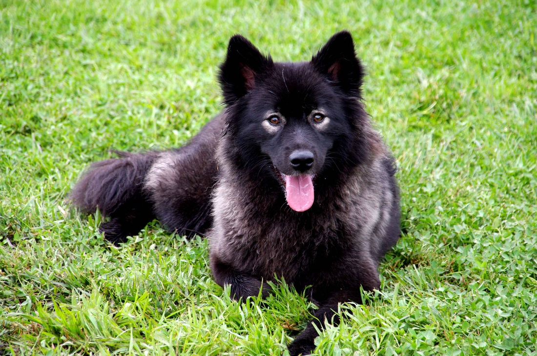 Finnish Lapphund wallpaper
