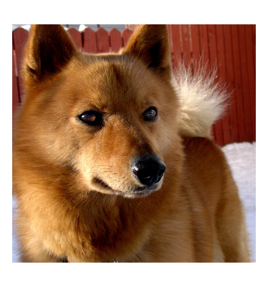 Finnish Spitz dog face wallpaper