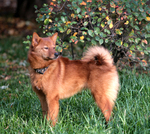 Finnish Spitz in the forest