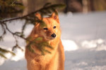 Finnish Spitz on the snow