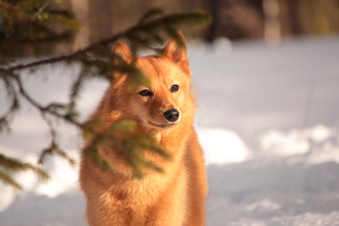 Finnish Spitz on the snow wallpaper