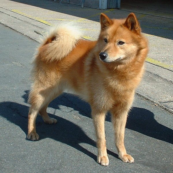 Finnish Spitz wallpaper