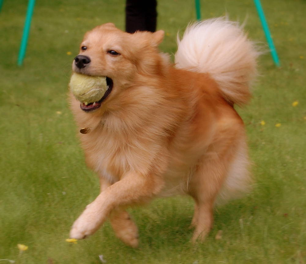 Finnish Spitz with a ball wallpaper