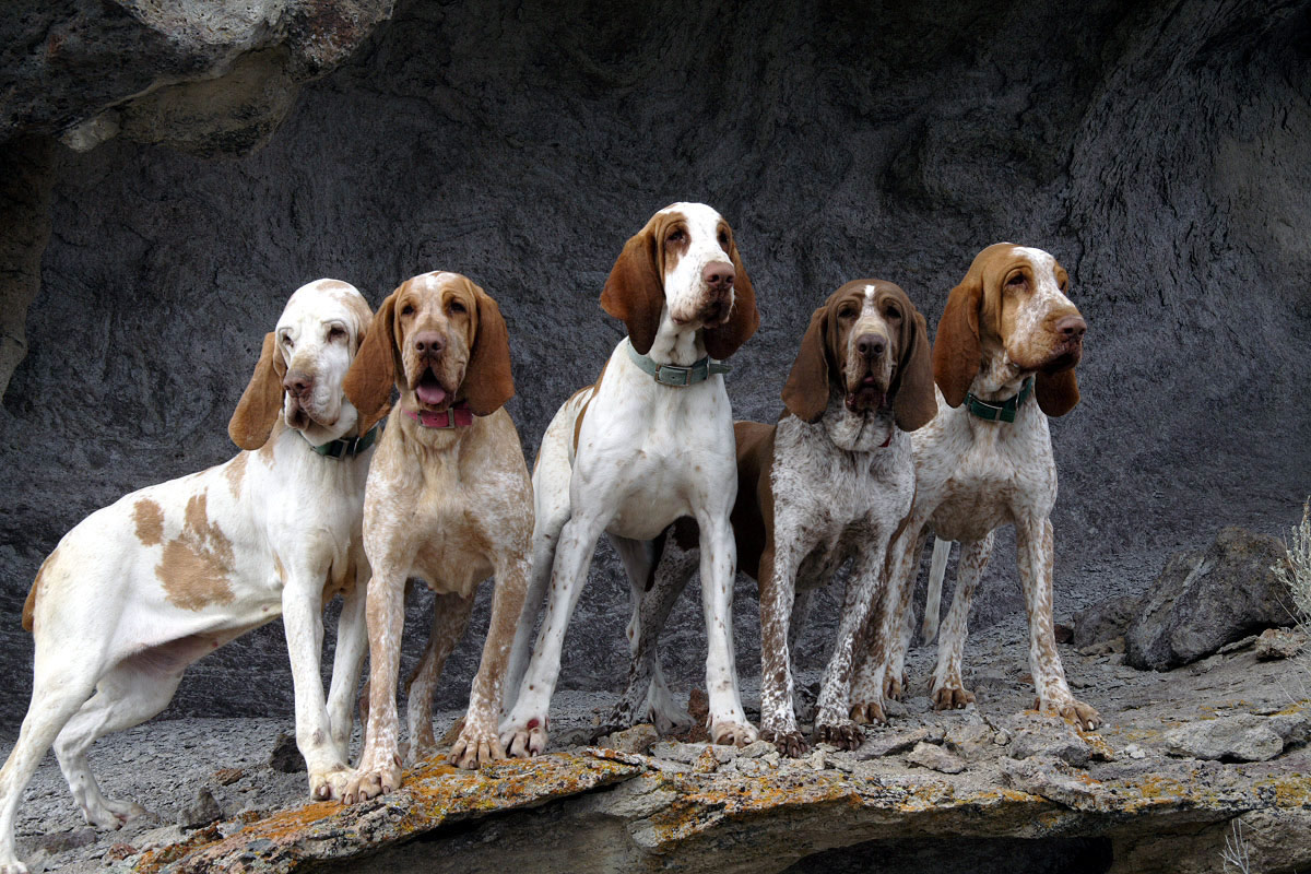 five bracco italiano dogs -#main
