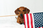 Flag day Dachshund portrait