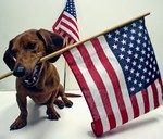 Flag day Dachshund