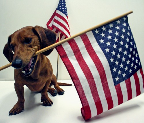 Flag day Dachshund wallpaper
