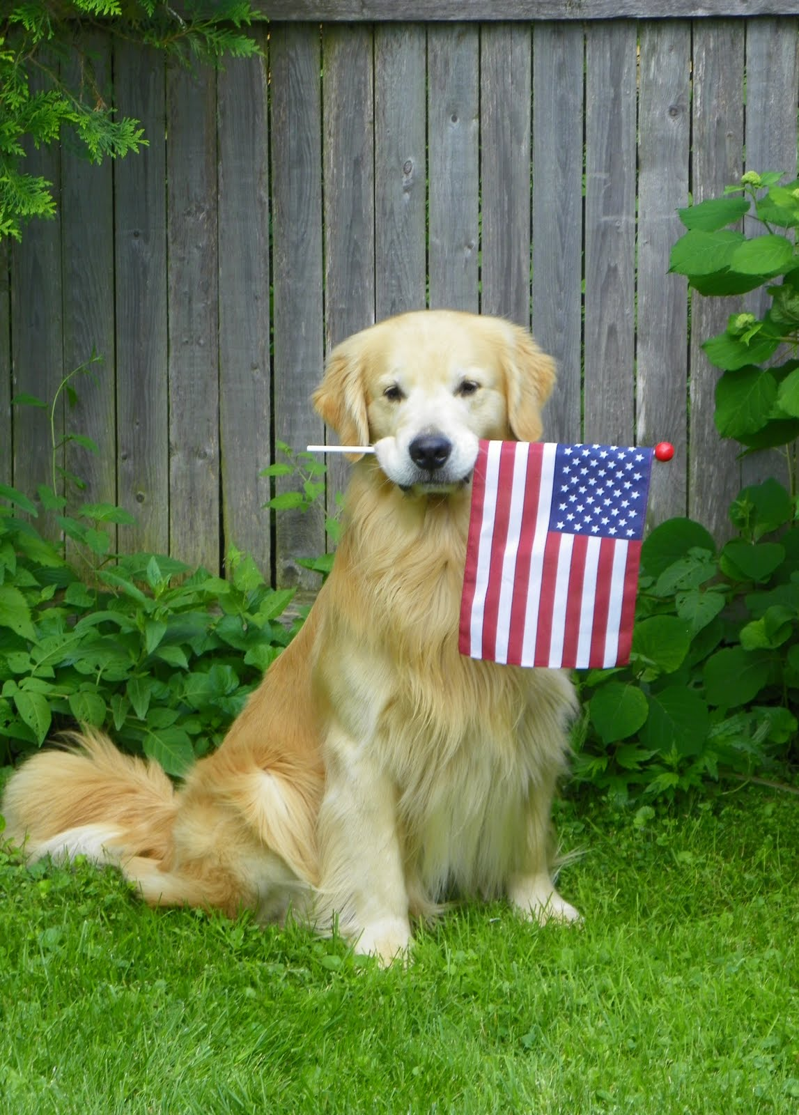 Flag Day Golden Retriever near the fence фото