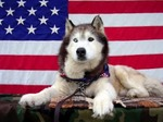 Flag Day Siberian Husky