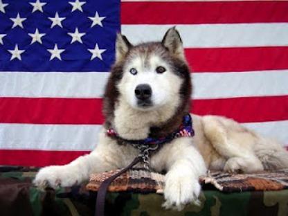 Flag Day Siberian Husky фото
