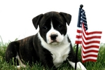 Flag Day Staffordshire Bull Terrier