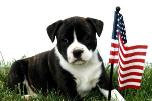 Flag Day Staffordshire Bull Terrier wallpaper