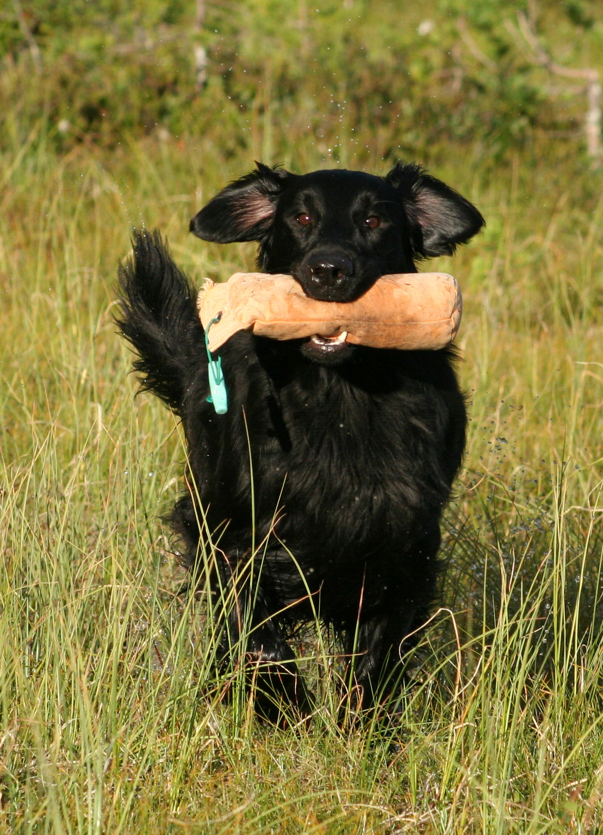Flat-Coated Retriever dog  in the field wallpaper
