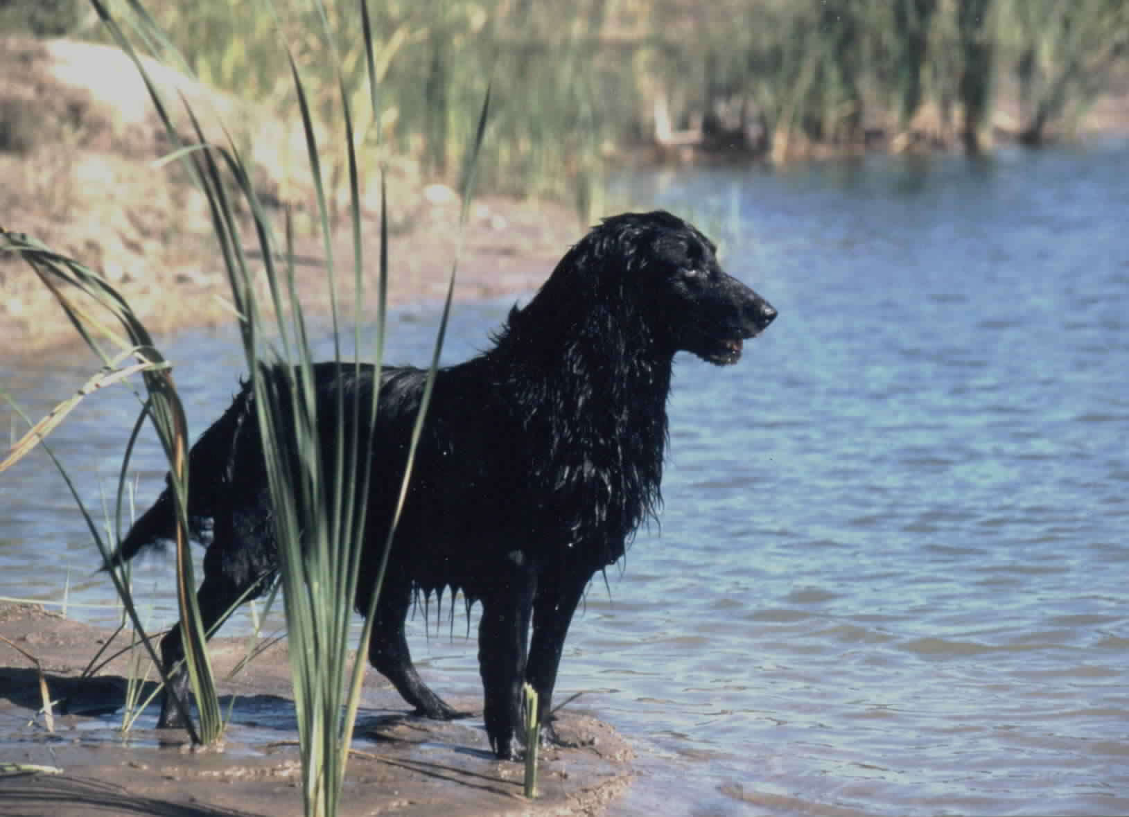 Flat-Coated Retriever dog  in the water wallpaper