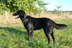 Flat-Coated Retriever dog side view