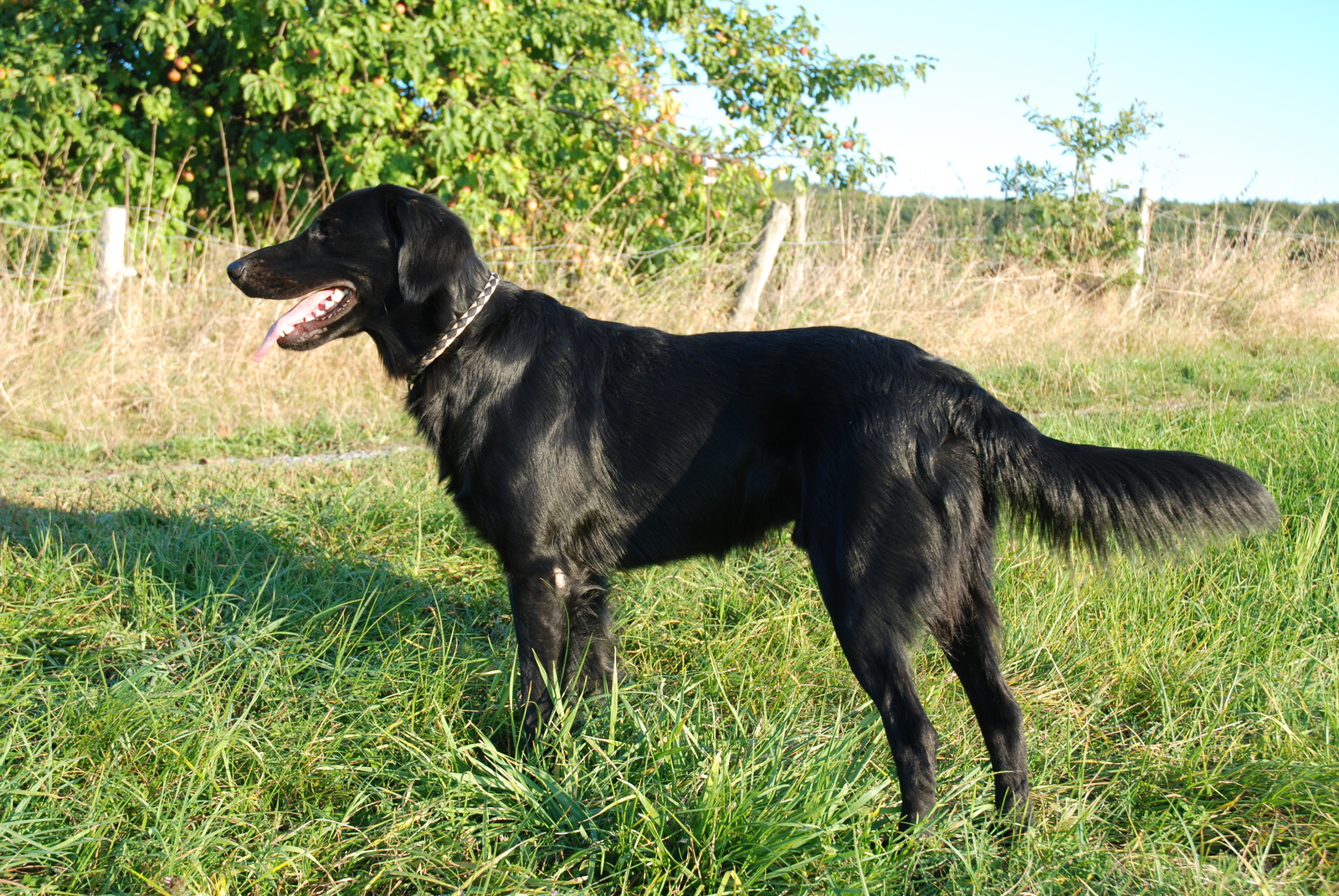 Flat-Coated Retriever dog side view wallpaper