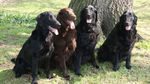 Flat-Coated Retriever dogs