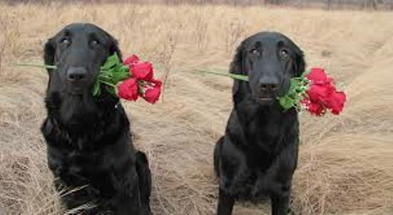 Flat-Coated Retriever dogs with roses wallpaper