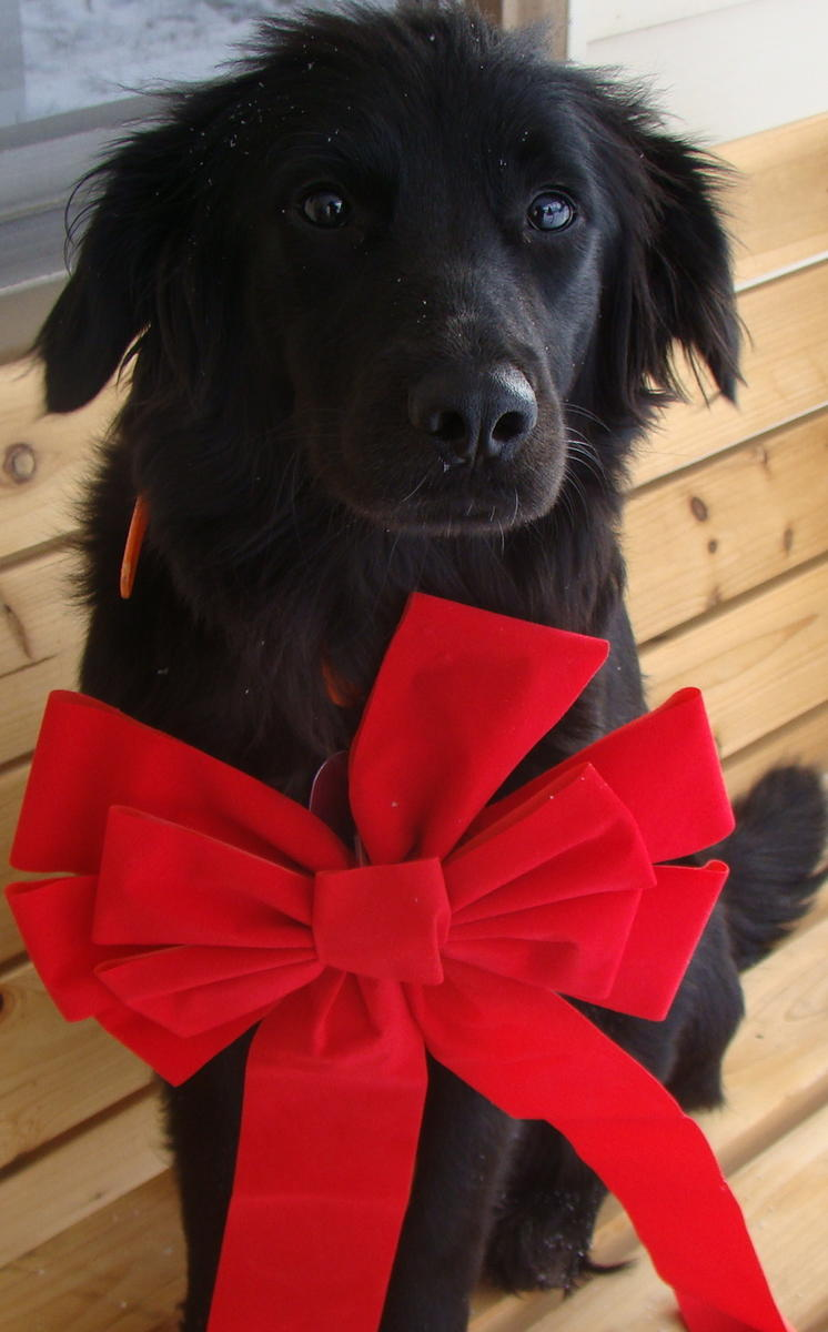 Flat-Coated Retriever with a red bow wallpaper