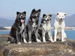 Four Akita Inu dogs