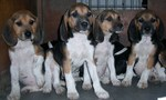 Four Beagle-Harrier dogs