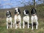 Four Braque d'Auvergne dogs