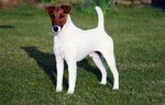 Fox Terrier (Smooth) dog in the grass