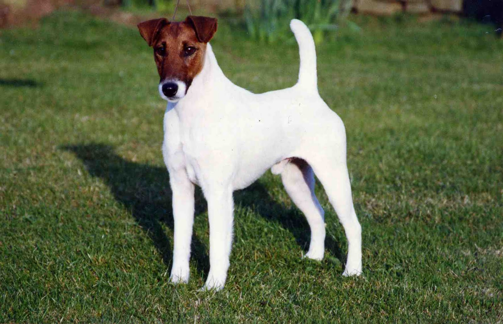 Photos of fox terriers